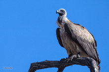 White-backed vulture,Gyps africanus,Botswana,Africa