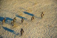 Botswana,Africa,Wildebeest,Boteti River,Kalahari desert