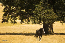 Work horse,oak tree