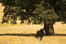 Work horse,oak tree
