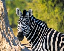 Botswana,Africa,zebra