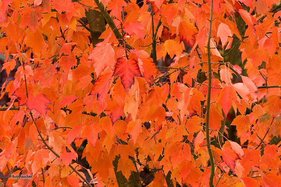 fall color,maple,leaves, photo