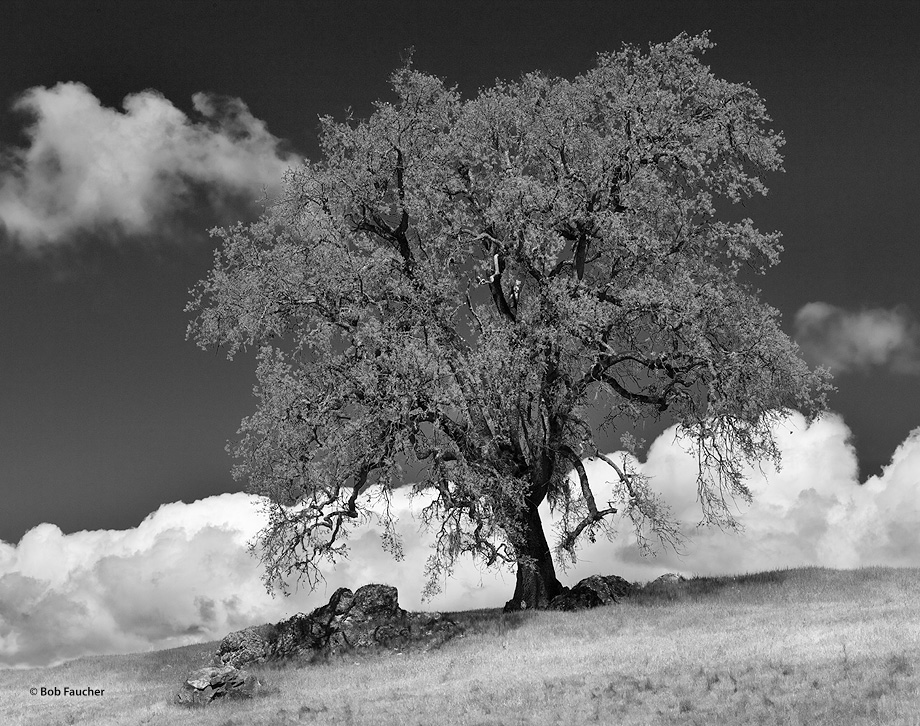 This stately oak lives on a hill, high above the valleys in front of and behind it. Clouds were rising from the valley behind...