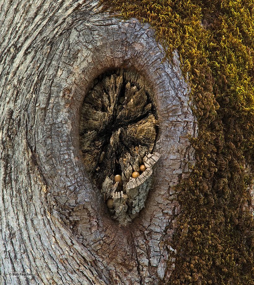 Oak,acorns,knot, photo