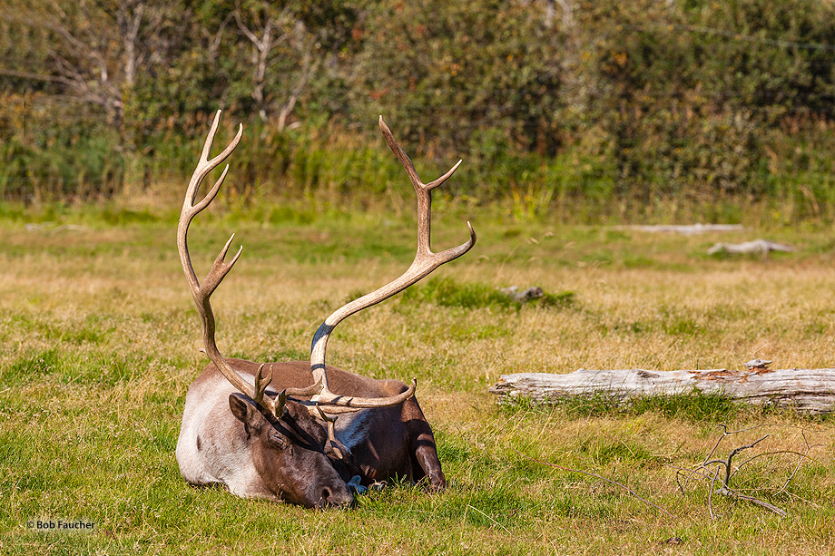 Caribou,Rangifer tarandus,Alaska, photo