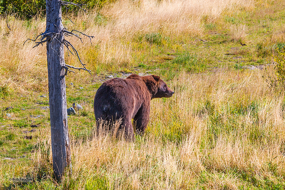 Brown,grizzly,bear,ursus arctos,Alaska, photo