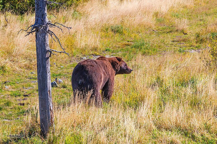 Brown,grizzly,bear,ursus arctos,Alaska, photo