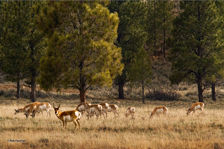 A male pronghorn keeps vigilant watch while his herd of females calmly graze in the soft, late afternoon sun. Always skittish...
