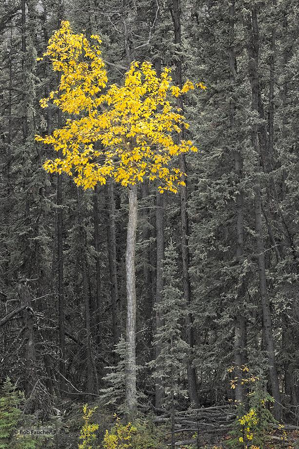 Cottonwood,Populus deltoides Alaskan Hiway,Yukon,Canada, photo