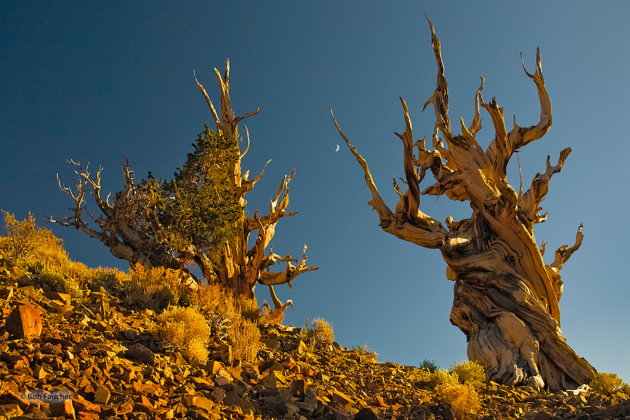 Two bristlecone pines, their twisted and ravaged trunks and limbs exposed to the elements, exude and epitomize the qualities...