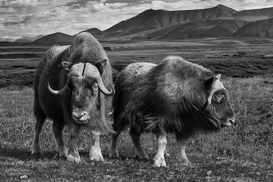 musk ox, Ovibos moschatus, Alaska, photo