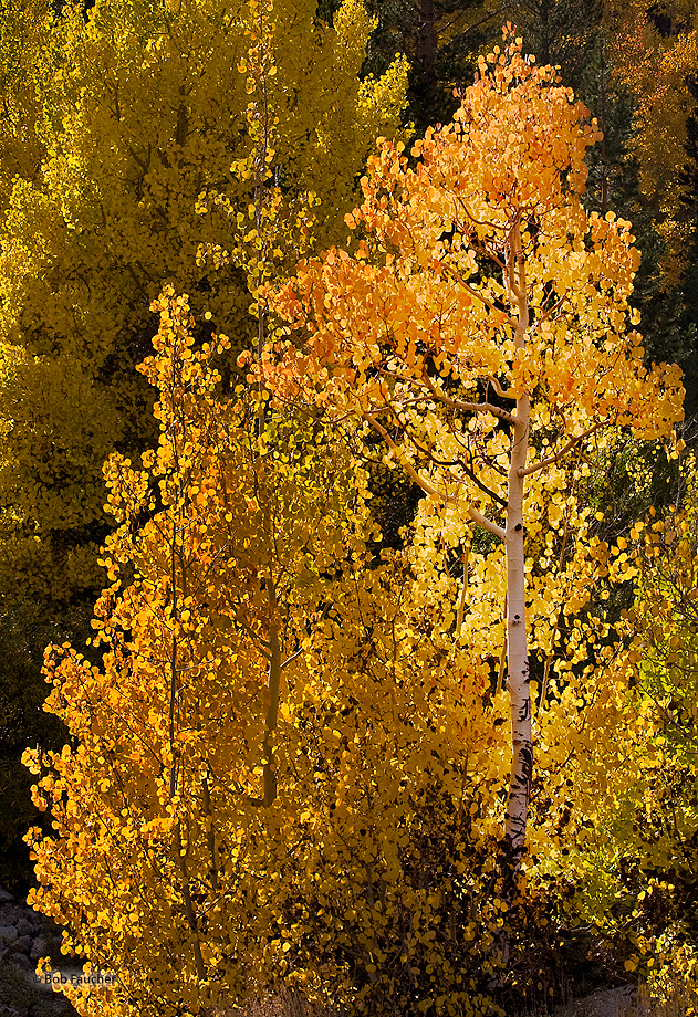 Young aspen backlit by late afternoon sun