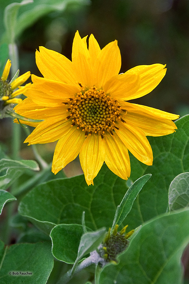 Arrowleaf Balsamroot (Balsamorhiza sagittata), common to mountain fields, are perennials with fleshy taproots and caudices bearing...