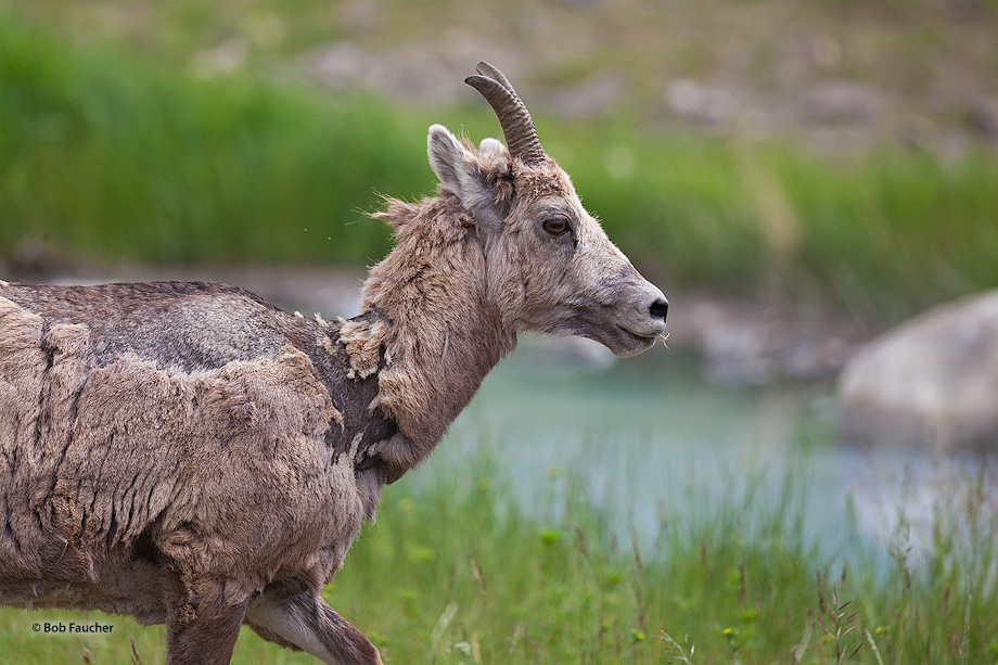 Big Horn Sheep,ewes,rams,lambs, photo