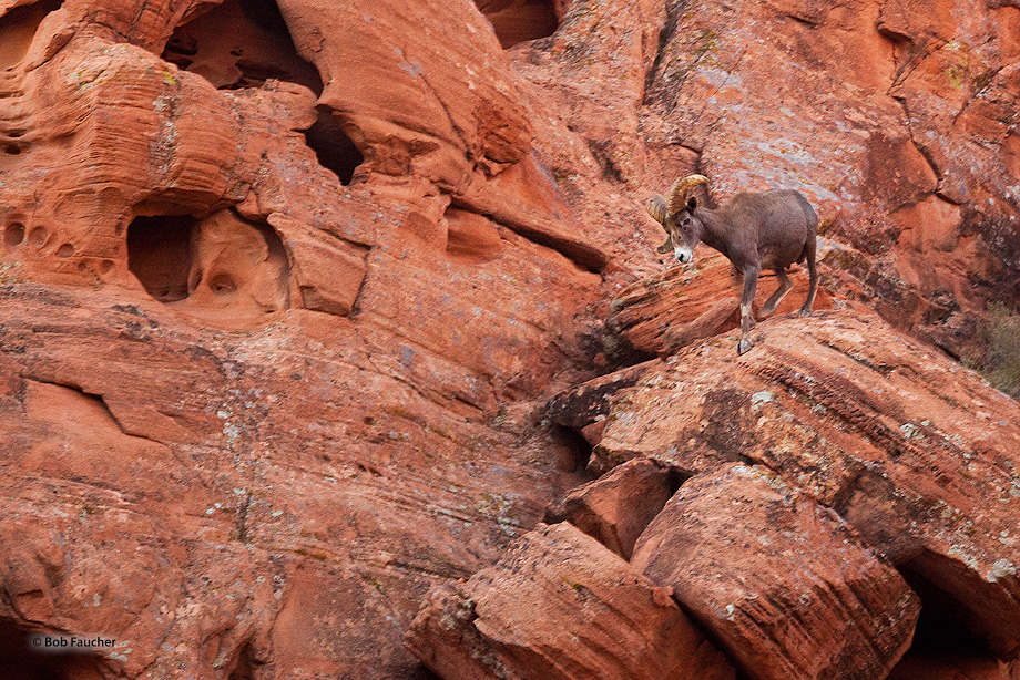 Valley of Fire SP,bighorn ram, photo