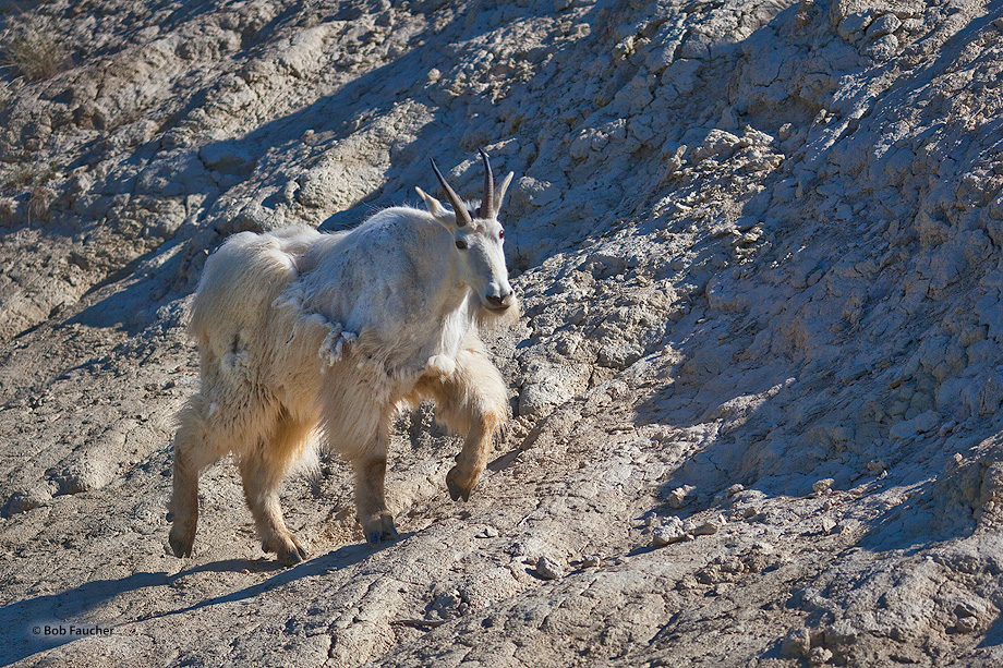 Mountain Goats,Oreamnos americanus,Banff NP,Alberta,Canada, photo