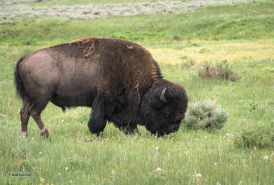 Bison,Yellowstone NP, photo