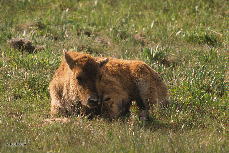 Bison calf,Yellowstone, photo