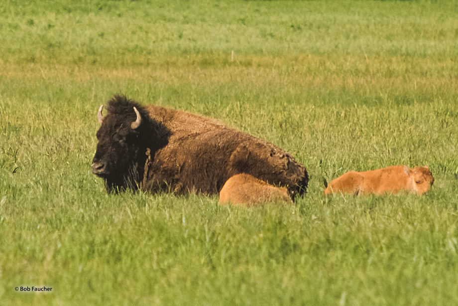 Mother bison and two calves rest in a meadow, midday, Yellowstone NP
