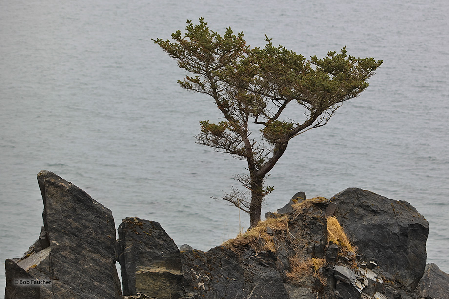 conifer,rocks,bleak,grey,Kodiak, photo