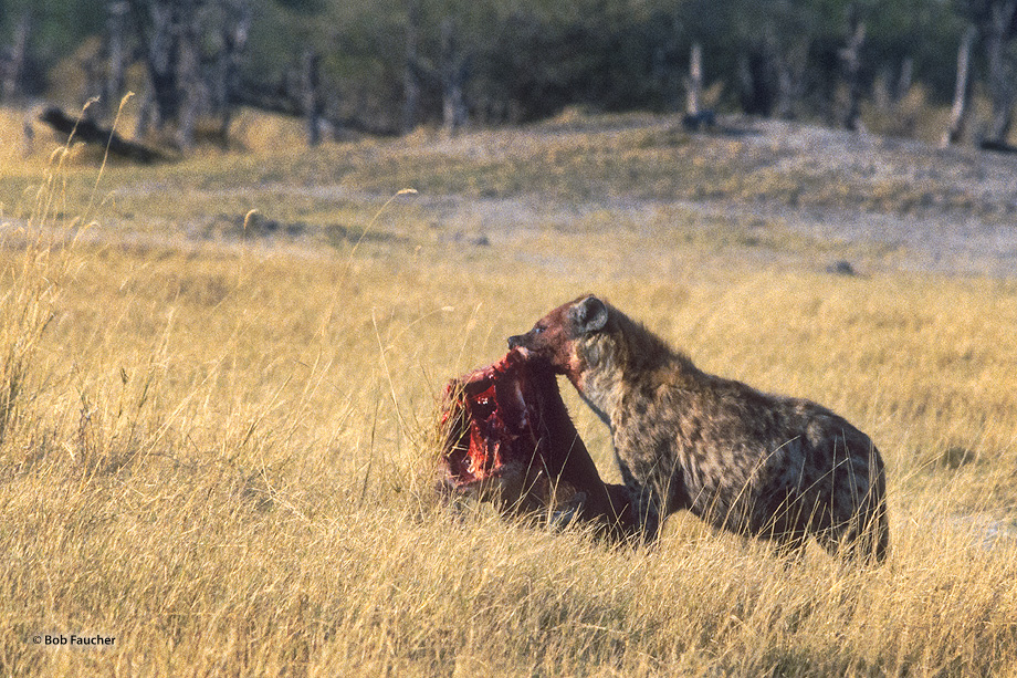 One early morning a spotted Hyena was found carrying the carcass of an antelope through the savannah.