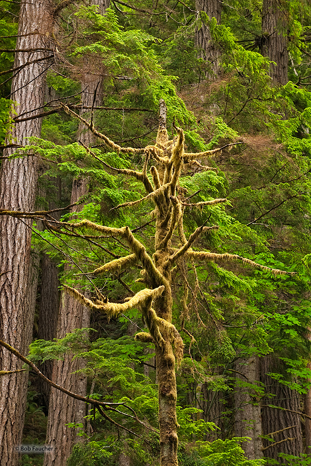 An old, moss-covered snag, seems to be pleading with the neighboring trees for assistance, who have responded with what looks...