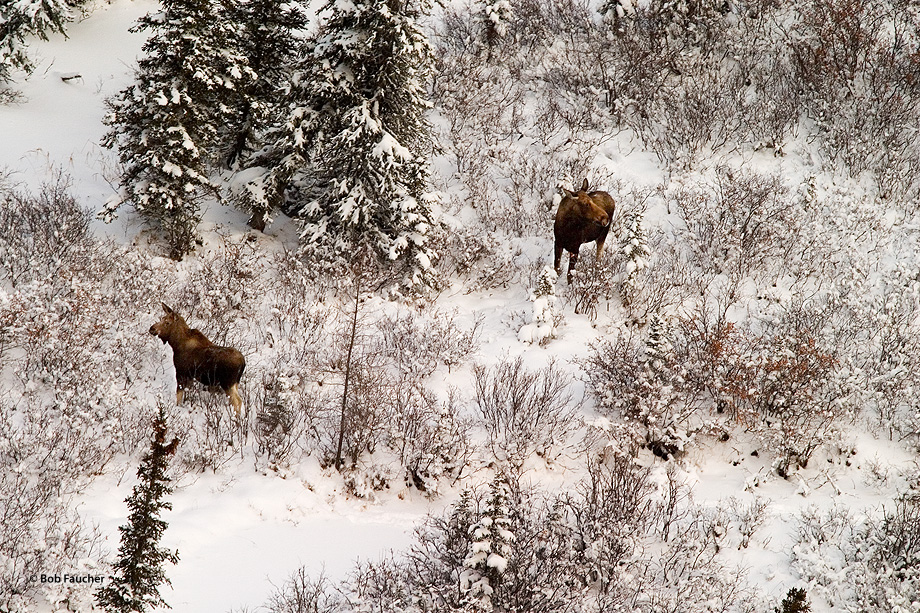 Two moose (Alces alces), browsing in the willow stand, are disturbed by the noise of the helicopter overhead