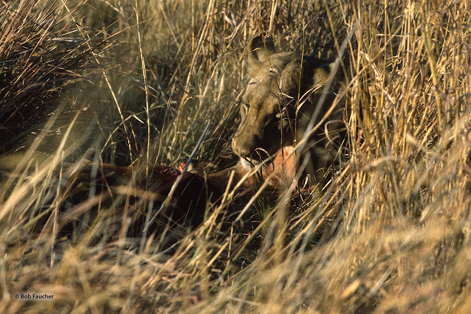 After making a kill this lioness dragged the antelope carcass into the grass, just a few feet from our vehicle, disappearing...