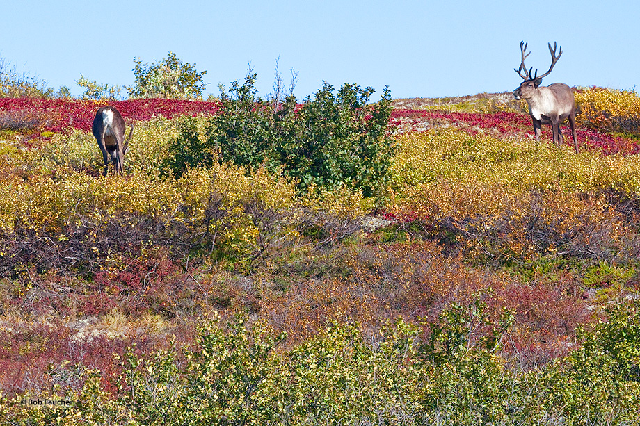caribou,rangifer tarandus,Denali NP,Alaska, photo