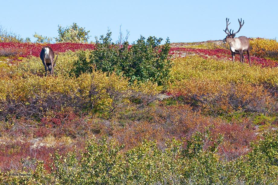caribou,rangifer tarandus,Denali NP,Alaska, photo