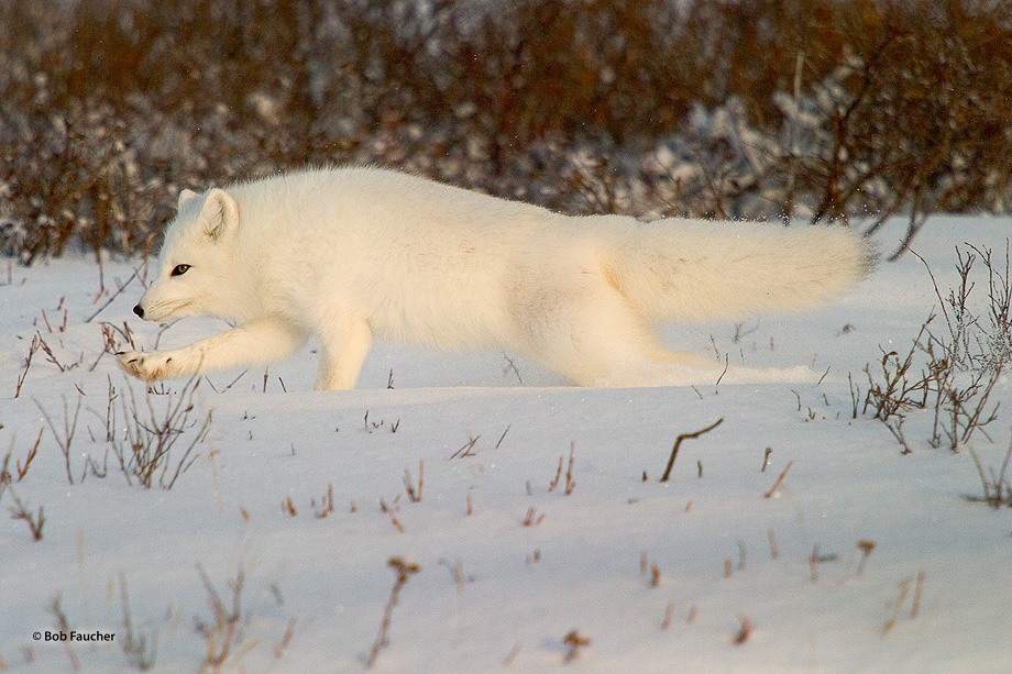 Churchill,Manitoba,arctic fox, photo