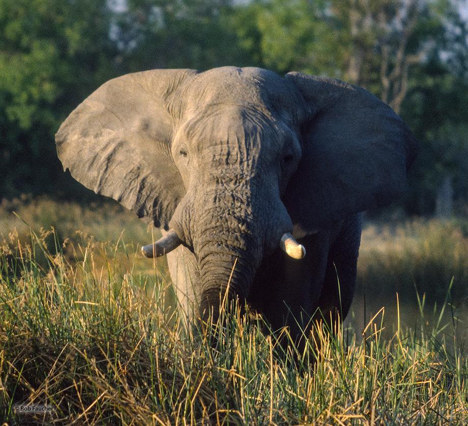 Botswana,Africa,elephant, photo