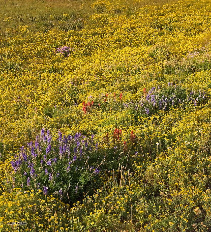 Rabbit Ears Pass,wild flowers,Lupine,Paintbrush, photo