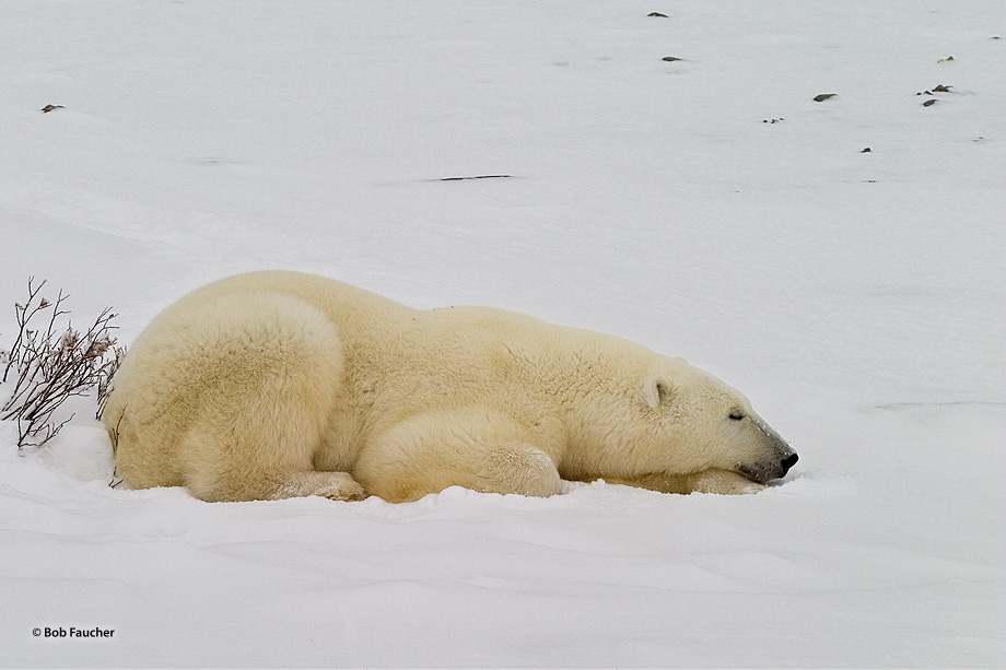 Because their fur is so good at insulating them, during all but the harshest weather polar bears (Ursus maritimus) need to maintain...