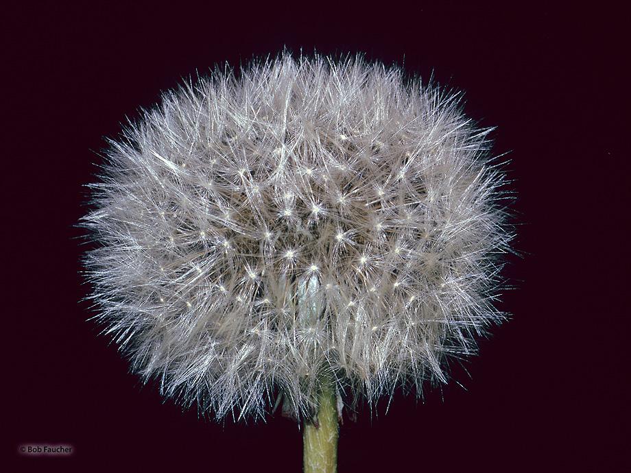 dandelion seed head, photo