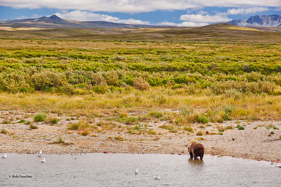 Katmai NP,Brown (grizzly) bear,Ursus Arctos,Moraine Creek, photo