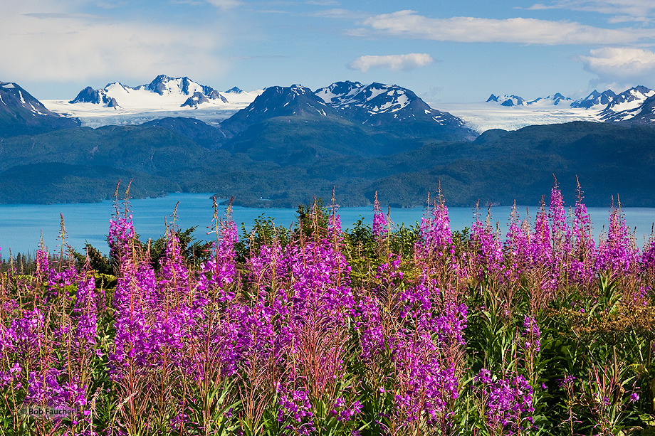 Portlock Glacier,Dixon Glacier,Kachemak Bay,fireweed,Kenai Mountains,Kenai Peninsula,Alaska, photo