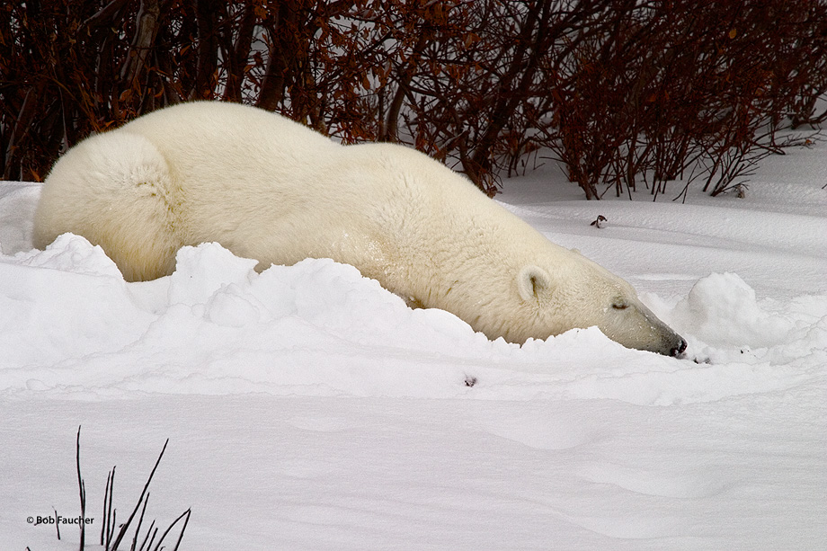 Polar bears (Ursus maritimus) sleep, but they do not hibernate, and can easily be aroused.