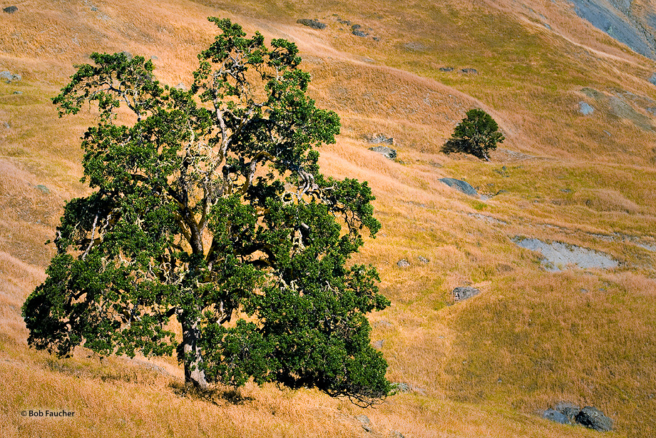 Oak tree,Elk Mountain Road,Lake County,California, photo