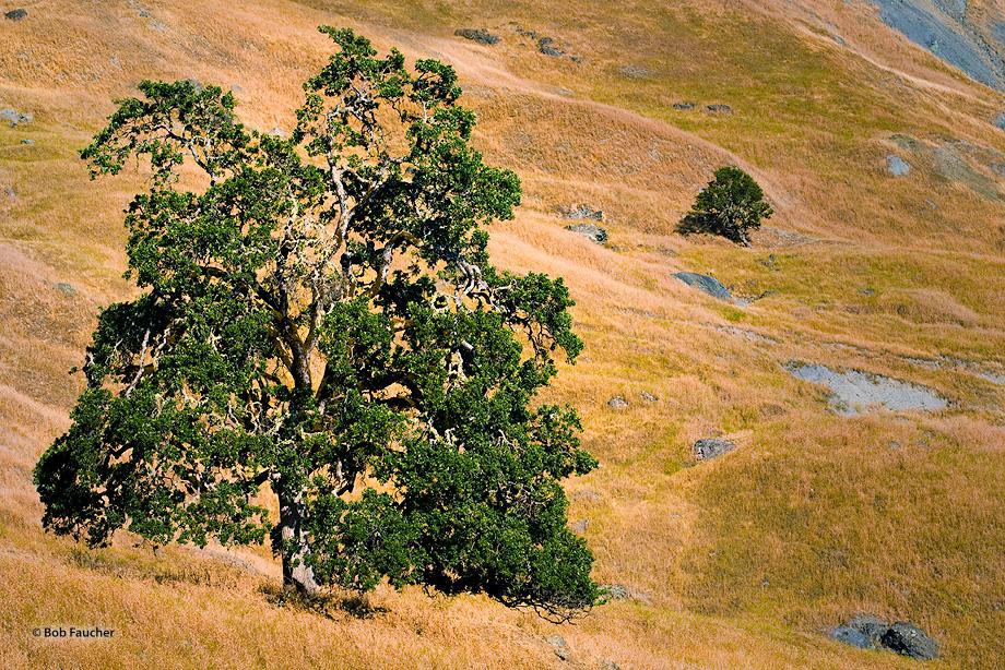 Oak trees dotting the rolling golden hills of California.