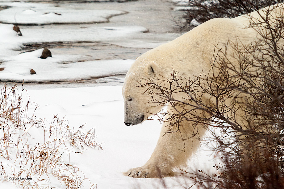 A massive male polar bear (Ursus maritimus) emerges from willow undercover