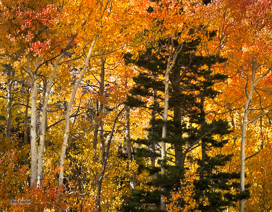 A pine grows in a grove of aspens in all their autumnal splendor