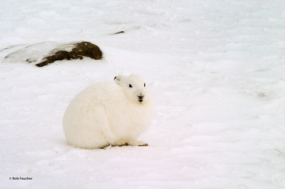 An arctic hare (Lepus arcticus) pauses briefly from his foraging to check the surrounds for threats, including the ominous large...
