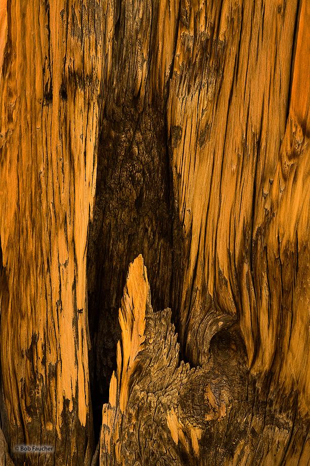 Schulman Grove,bristlecone pine,evening, photo