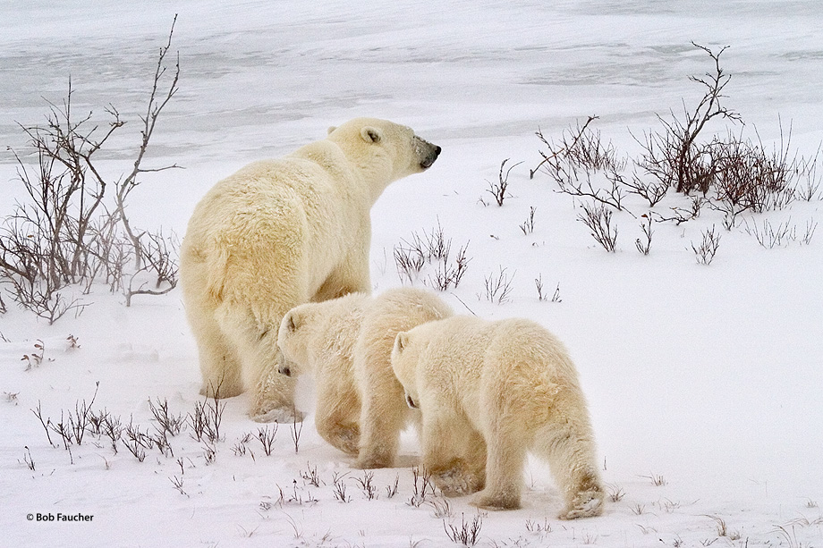 Young cubs follow their mother across a snowfield