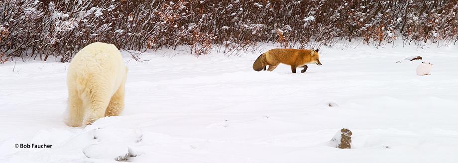 Churchill,Manitoba,polar bear,red fox,arctic hare, photo