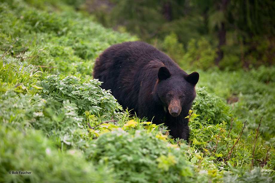 Hurricane Ridge,black bear,forest,foraging,Olympic NP, photo