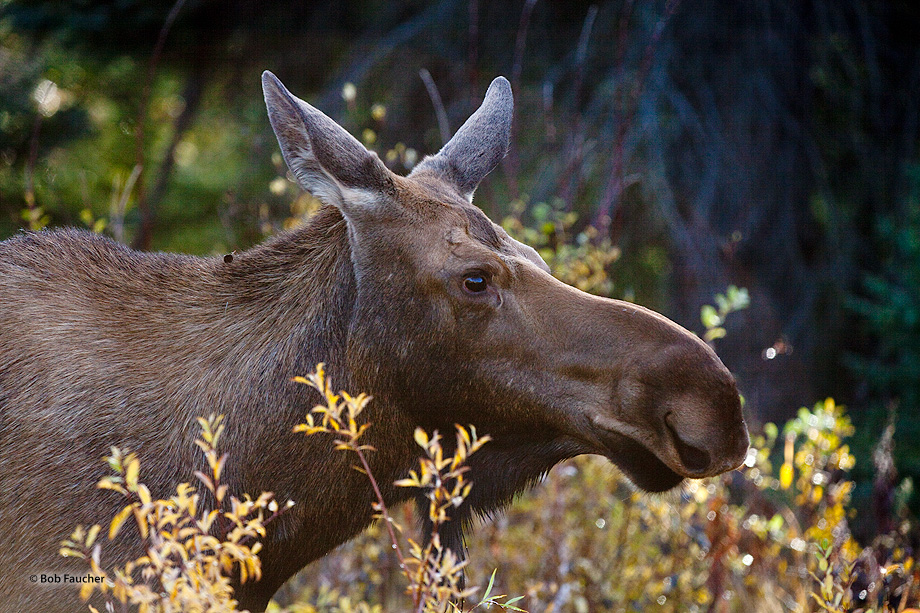 A female moose wanders alone after the fall rut, looking as if she had not been included in the festivities