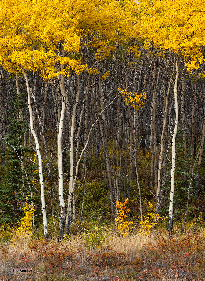 Aspen,Populus tremuloides,Alaskan Hiway,Yukon,Canada, photo