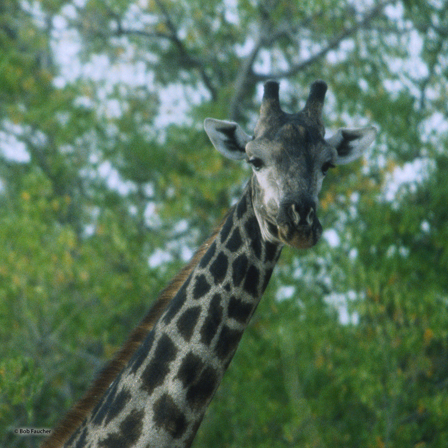 The Giraffe (Giraffa camelopardalis) of Botswana are of the southern Africa race or commonly known as the southern Giraffe.